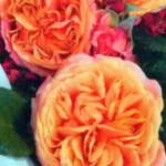 роза Мэри Энн