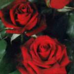 роза Блэк Мэджик