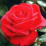 роза Гранд Класс