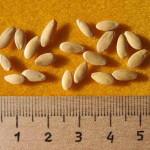 ogurec-semena