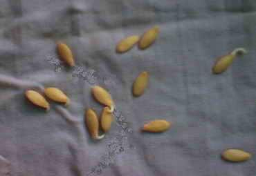 Когда замачивать семена огурцов на рассаду 37