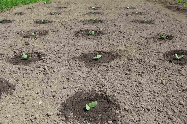 Посадка тыквы рассадой расстояние 32