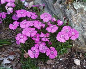 dianthus-alpinus