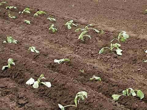 выбора время высадки поздней капусты в открытый грунт для десен, принято