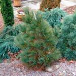 Pinus-peuce-Arnold-Dwarf