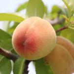 peach-fruit