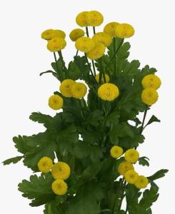 pure_yellow