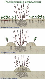 Размножение боярышника семенами