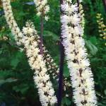 Цимицифуга выращивание из семян 70