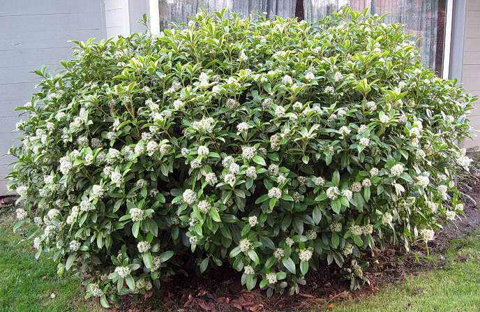 Плодовые кустарники которые сажают в тени 15