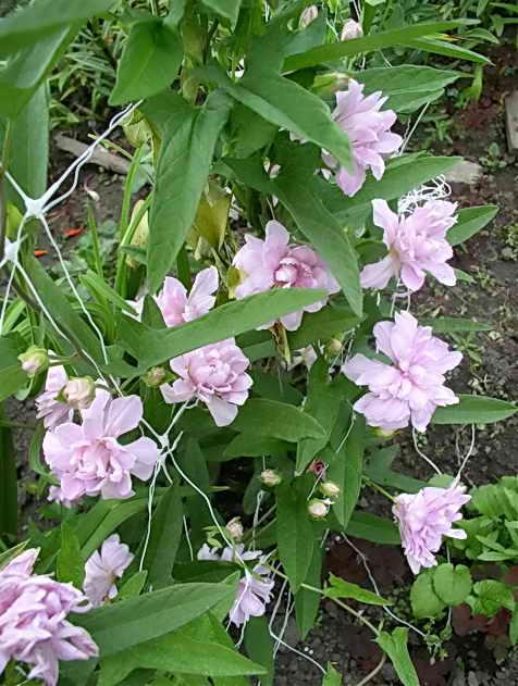 Калистегия выращивание и уход фото 88