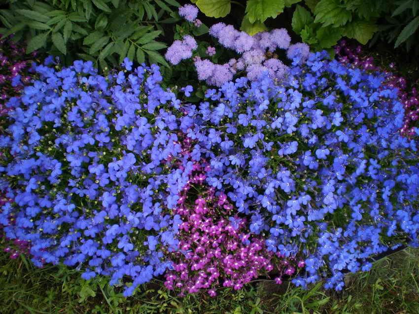 Лобелия фото цветов рассада 81