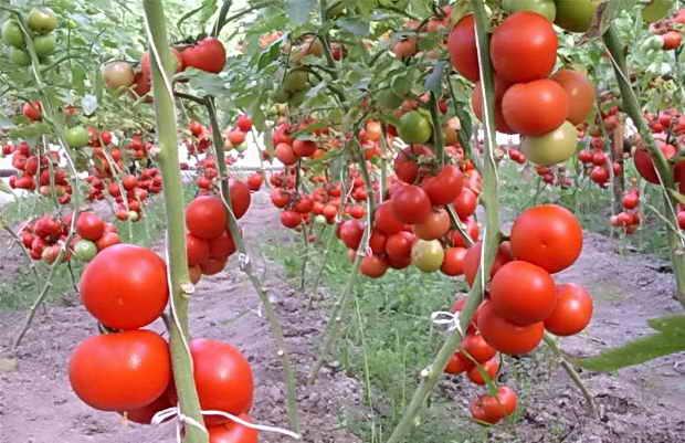 Строение стебля помидора