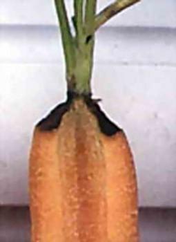 Основные болезни моркови фото