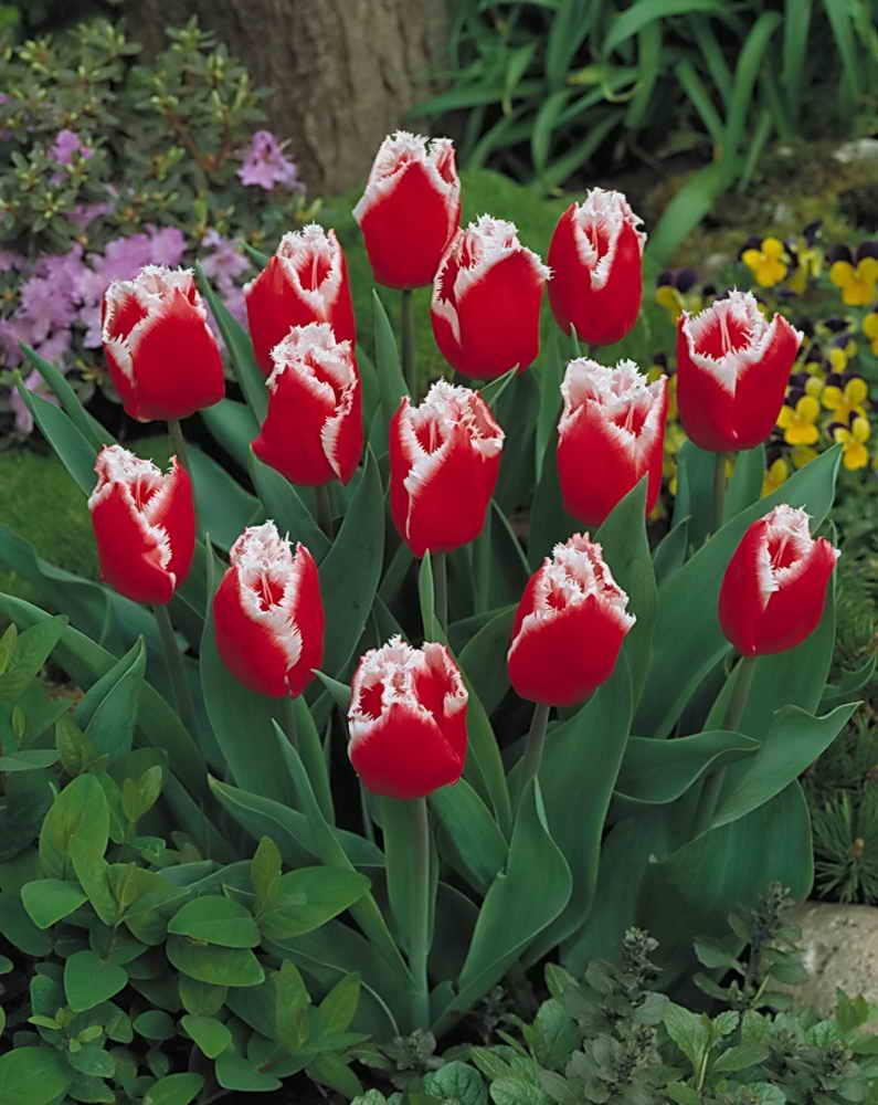 Тюльпаны можно ли не выкапывать