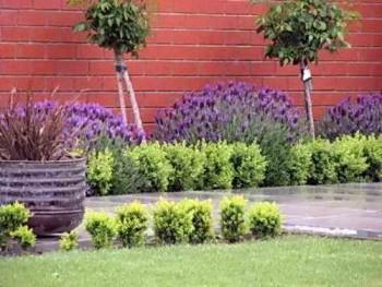 насіння лаванди