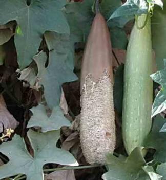 Растение мочалка