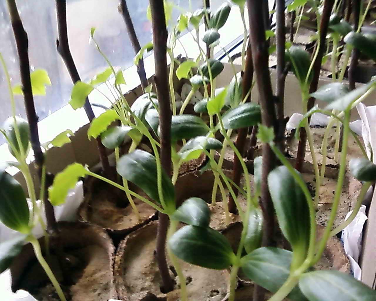 люффа растение