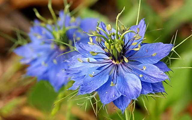Nigella-Miss_Jekyll_Blue