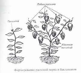 formirovanie_baklazanov