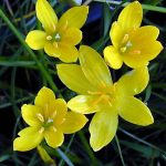 Zephyranthes citrina