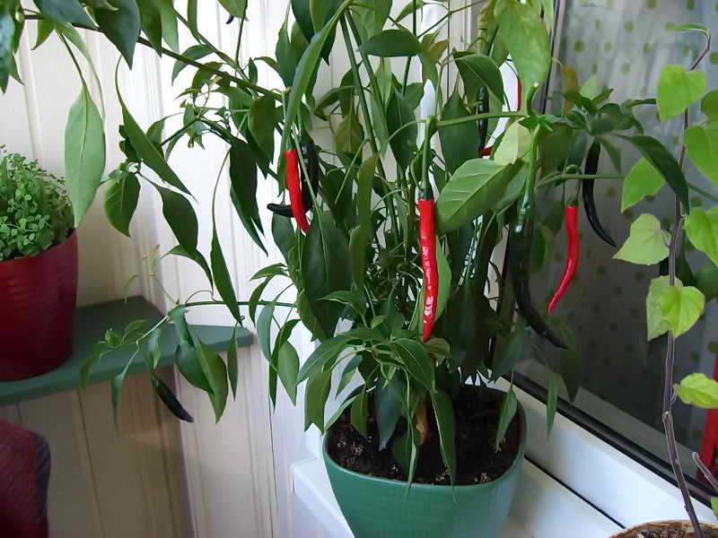 Комнатные перцы выращивание 9