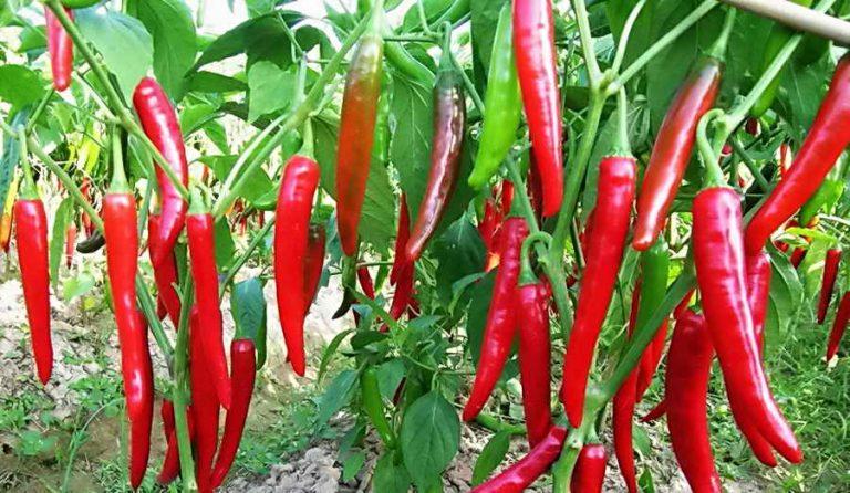 Перец чили выращивание в грунте 584