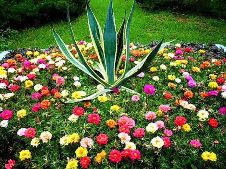 Портулак выращивание и фото 106