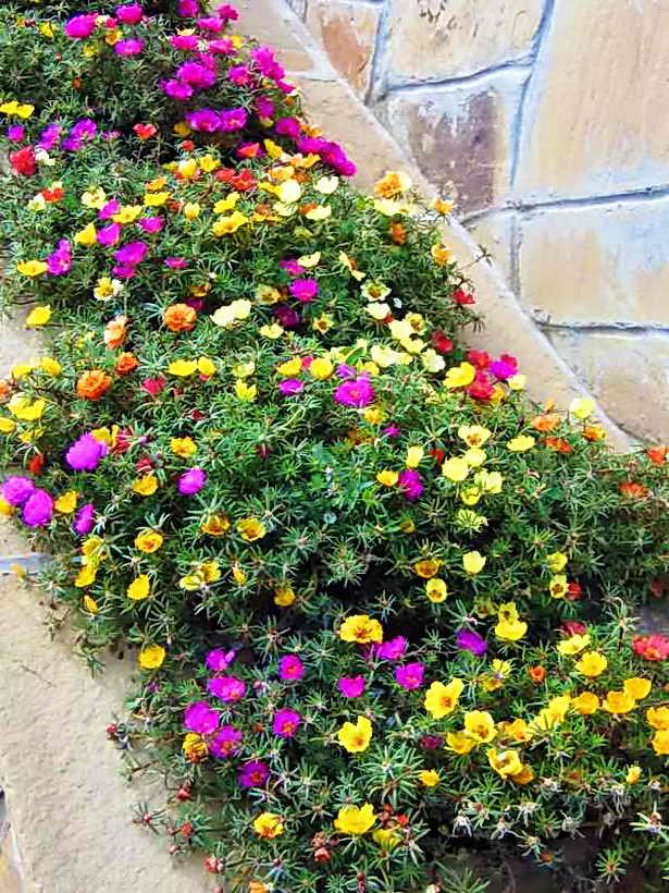 Портулак цветов рассада когда сажать