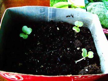 Семена астры