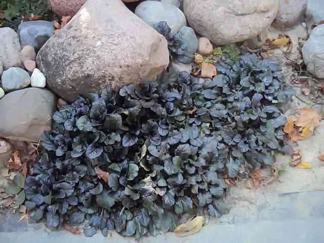 декоративные листья живучки ползучей