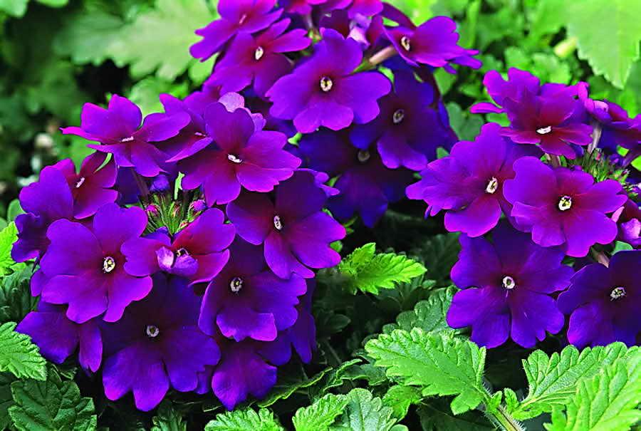 яркие синие цветочки