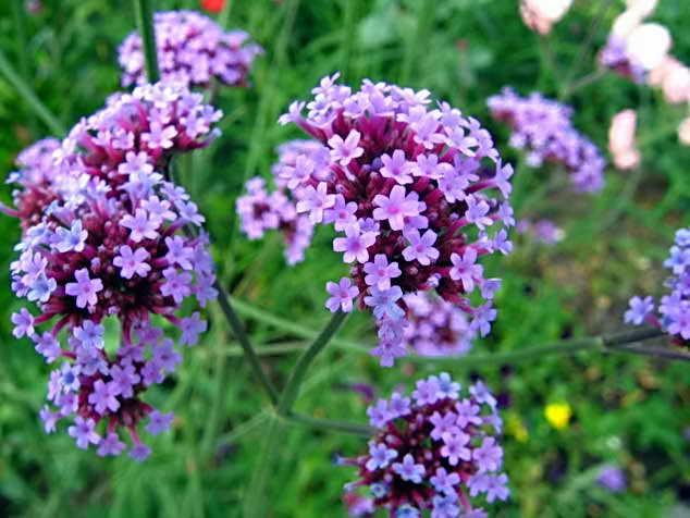 необычные цветы для клумбы