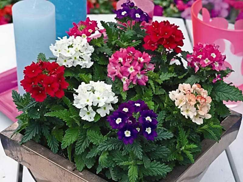 выращивание цветов в вазоне
