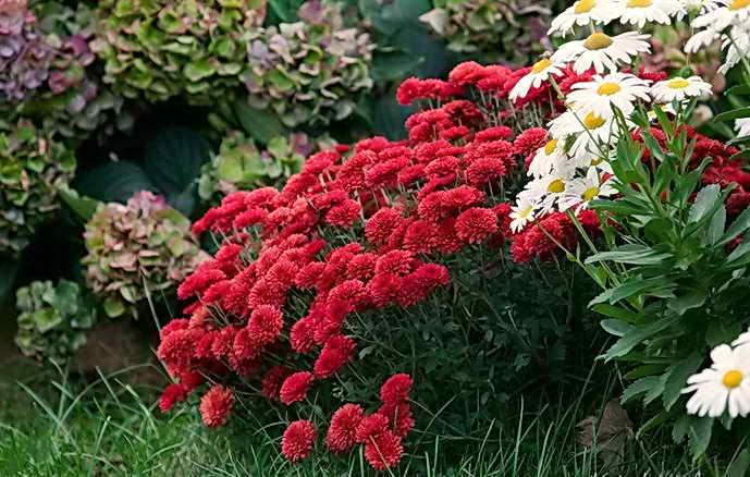 как сохранить хризантему зимой