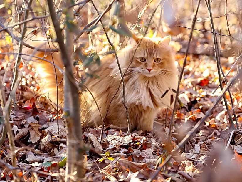 осенью кошка может заболеть циститом