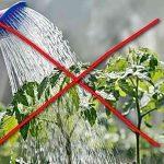 как нельзя поливать рассаду