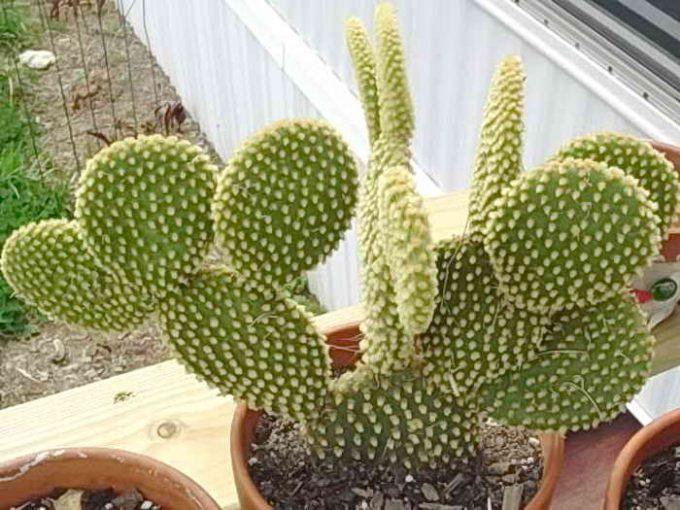 как вырастить кактус в домашних условиях