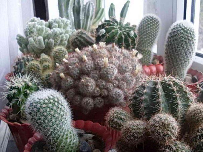 что главное в уходе за кактусами