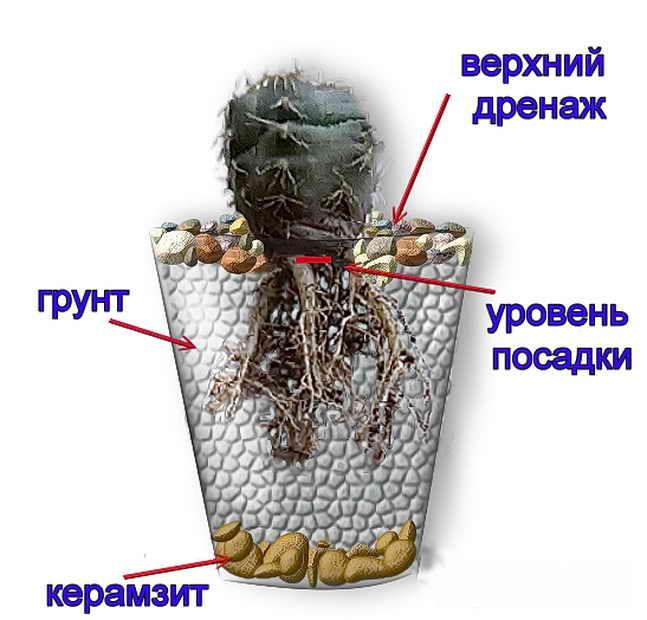 правильная пересадка кактуса
