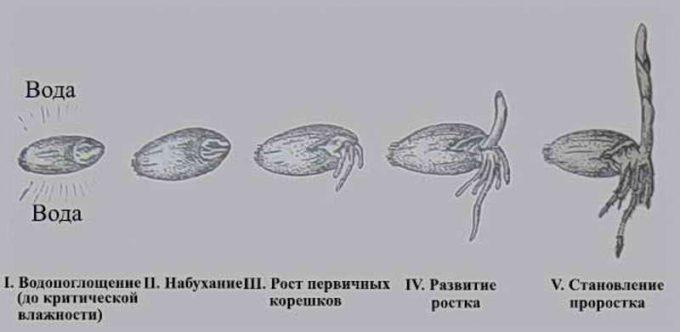 этапы развития семени