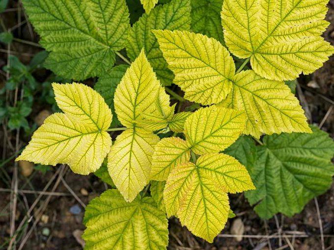 желтеют листья от хлороза
